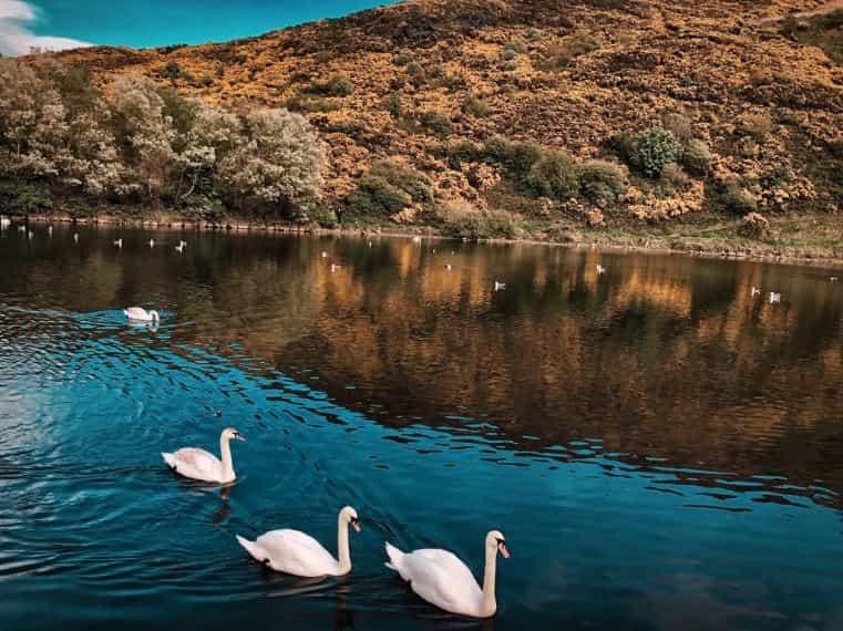 Scottish Highlands goose